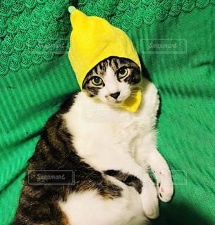レモン被らされてる事も知らずソファでくつろぐ猫の写真・画像素材[1411179]