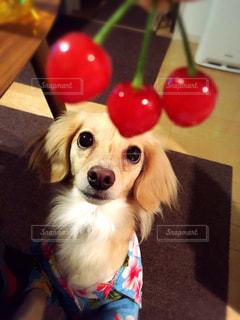 犬の写真・画像素材[284205]