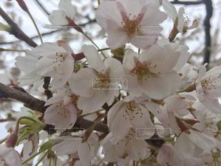 桜の写真・画像素材[284470]