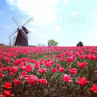 フィールドに赤い花の写真・画像素材[1119264]