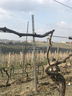 収穫後の葡萄畑の写真・画像素材[1355026]