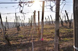 葡萄畑で眺める夕陽の写真・画像素材[1804246]