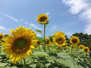 花の写真・画像素材[622300]