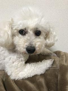 ハスに構えた白い犬の写真・画像素材[1258073]