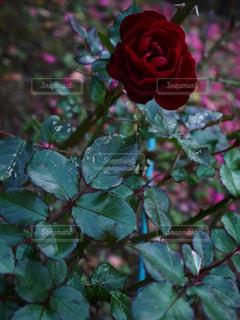 花の写真・画像素材[286915]