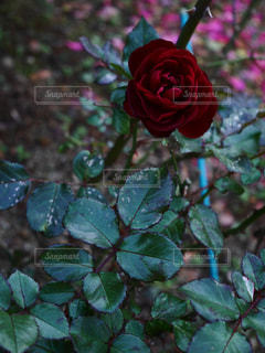 花の写真・画像素材[286916]
