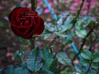 花の写真・画像素材[286917]