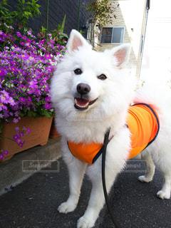 犬の写真・画像素材[534991]