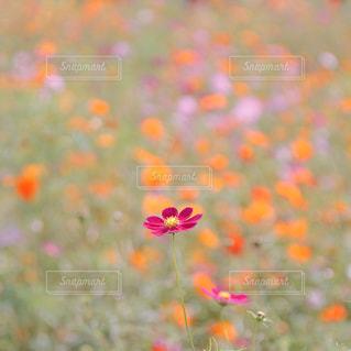コスモス畑の写真・画像素材[9369]
