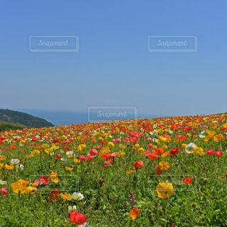 花さじきのポピー畑の写真・画像素材[9367]