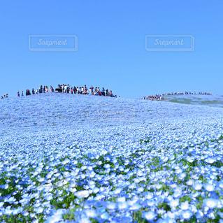 ネモフィラの丘の写真・画像素材[9356]
