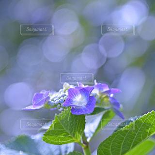 紫陽花 - No.9347