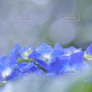 紫陽花の写真・画像素材[9346]