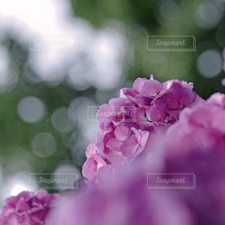 紫陽花の写真・画像素材[9345]