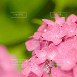 ピンクの紫陽花の写真・画像素材[9331]