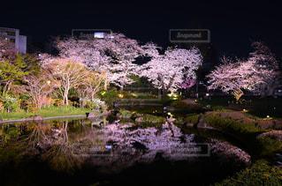 桜ライトアップの写真・画像素材[9320]
