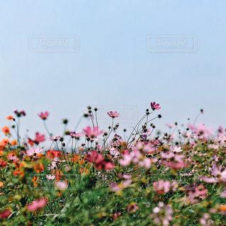 コスモス畑の写真・画像素材[974768]