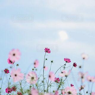 青空とコスモスの写真・画像素材[974770]