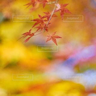紅葉の写真・画像素材[974771]