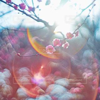 梅の写真・画像素材[1051236]