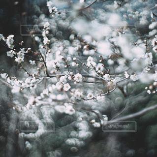 梅の写真・画像素材[1051238]