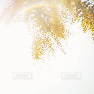 ミモザの写真・画像素材[1051239]