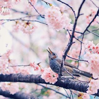桜の枝にとまる小鳥の写真・画像素材[1074406]