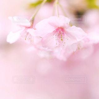 桜の写真・画像素材[1074410]