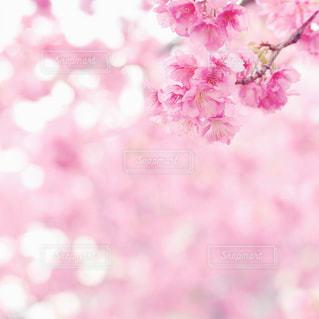 桜の写真・画像素材[1074428]