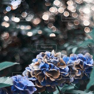 紫陽花の写真・画像素材[1197236]