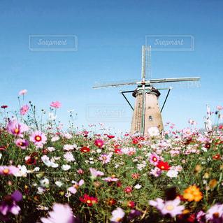 コスモスと風車の写真・画像素材[1714048]