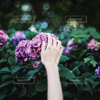 紫陽花の写真・画像素材[1714049]