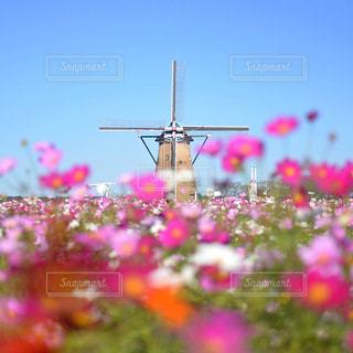 コスモスと風車の写真・画像素材[1714058]