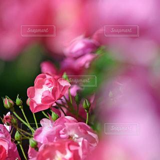 薔薇の写真・画像素材[1714073]