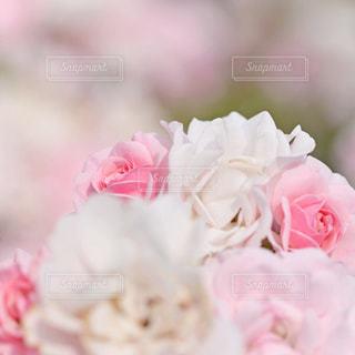 薔薇の写真・画像素材[1714077]