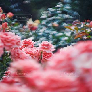 薔薇園の写真・画像素材[1714080]