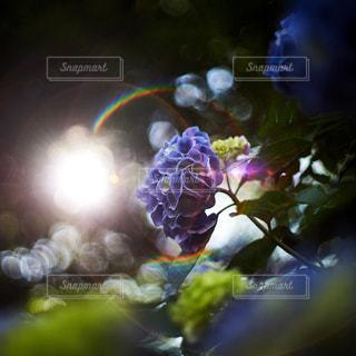 紫陽花の写真・画像素材[1714081]