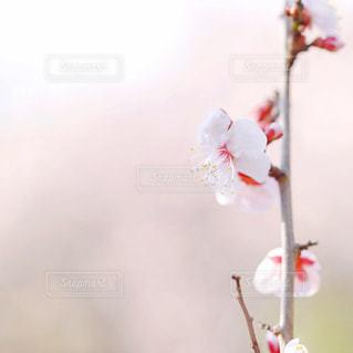 梅の写真・画像素材[1714097]