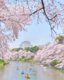 千鳥ヶ淵の桜の写真・画像素材[1714098]