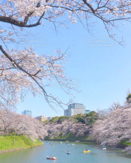 千鳥ヶ淵の桜の写真・画像素材[1714101]