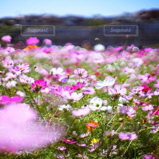秋桜の写真・画像素材[2490164]