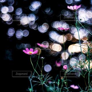 秋桜の写真・画像素材[2490170]