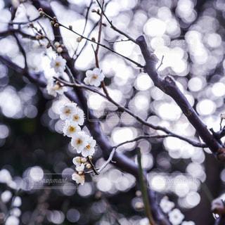 梅の写真・画像素材[2975458]