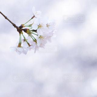 桜の写真・画像素材[2976080]