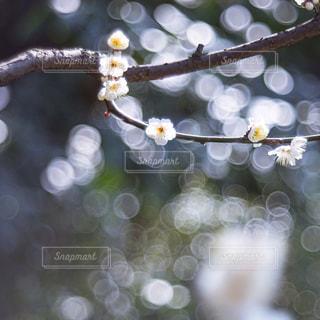 梅の写真・画像素材[2976081]