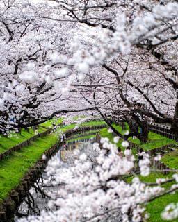 桜の写真・画像素材[3086253]