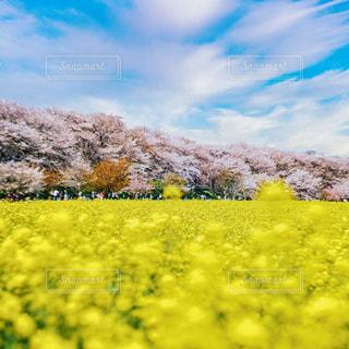 桜と菜の花のコラボレーションの写真・画像素材[3086251]