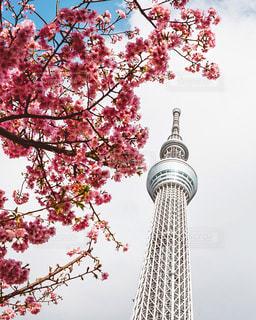 桜と東京スカイツリーの写真・画像素材[3086258]