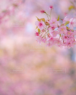 桜の写真・画像素材[3086257]