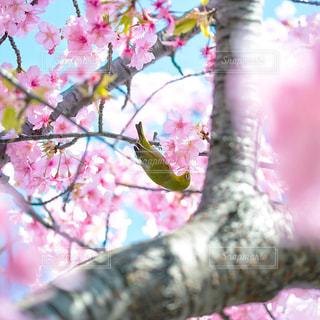 桜とサクジローの写真・画像素材[3086260]